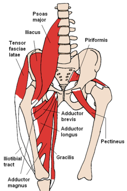 250px-Anterior_Hip_Muscles_2.PNG